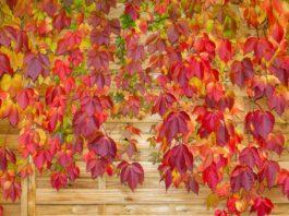 Vītenis ar rudenīgi sārtām lapām